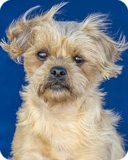 Colorado Springs Co Shih Tzu Yorkie Yorkshire Terrier Mix Meet Fidget A Dog For Adoption Http Www Adoptapet Com Pet 16 Pets Yorkshire Terrier Shih Tzu