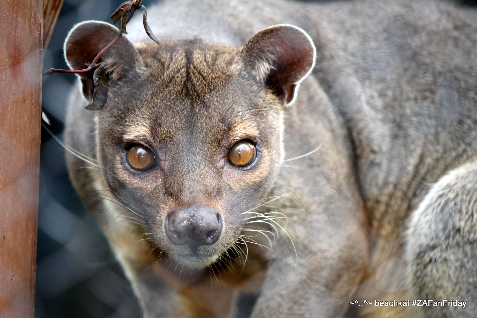 #ZAFanFriday Logan, the Fossa from Madagascar @zooatlanta