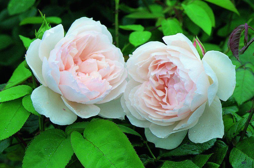 The Generous Gardener | ROSES | Pinterest | David austin