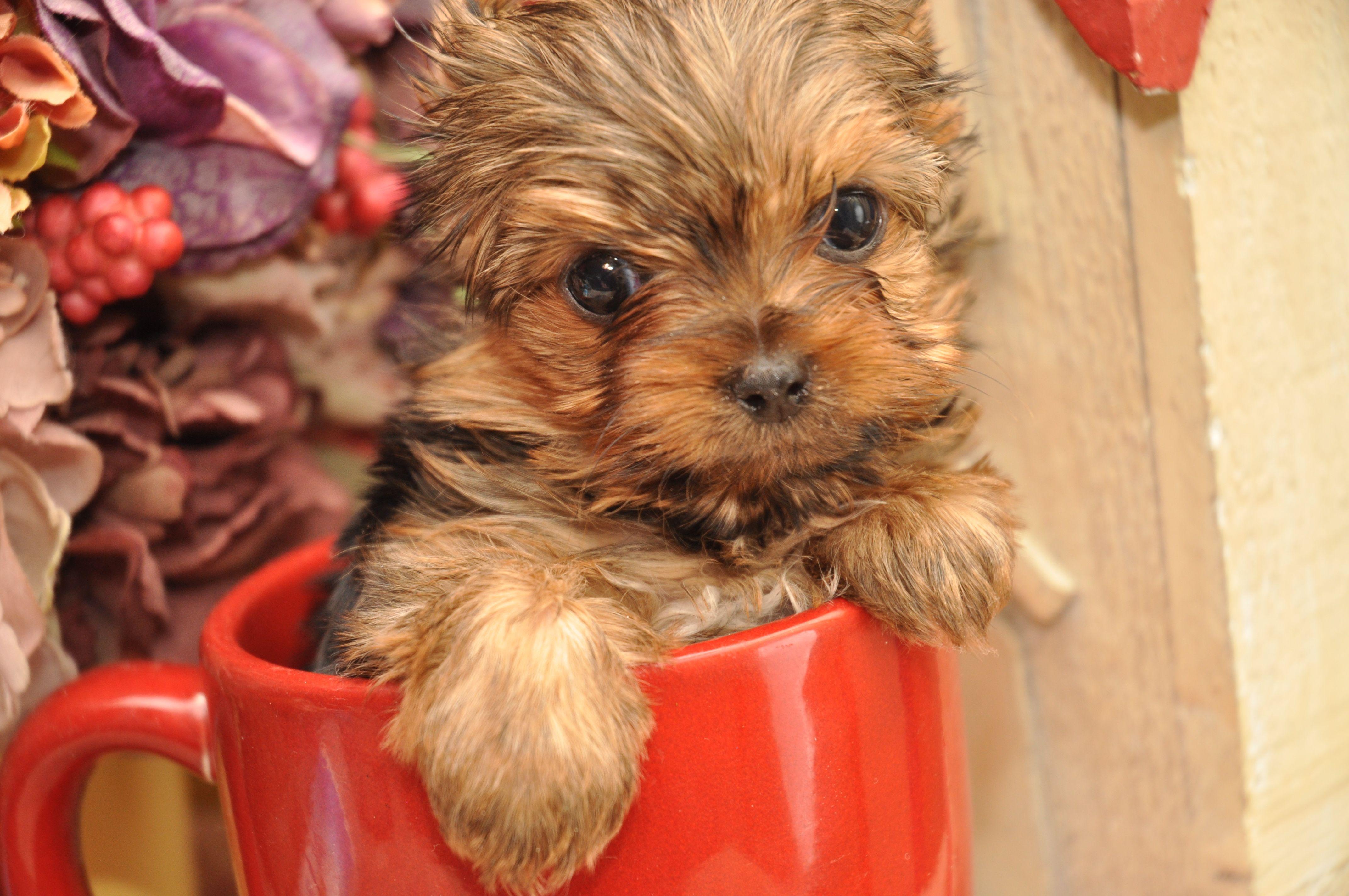 cute tcup girl Teacup yorkie, Teacup yorkie puppy