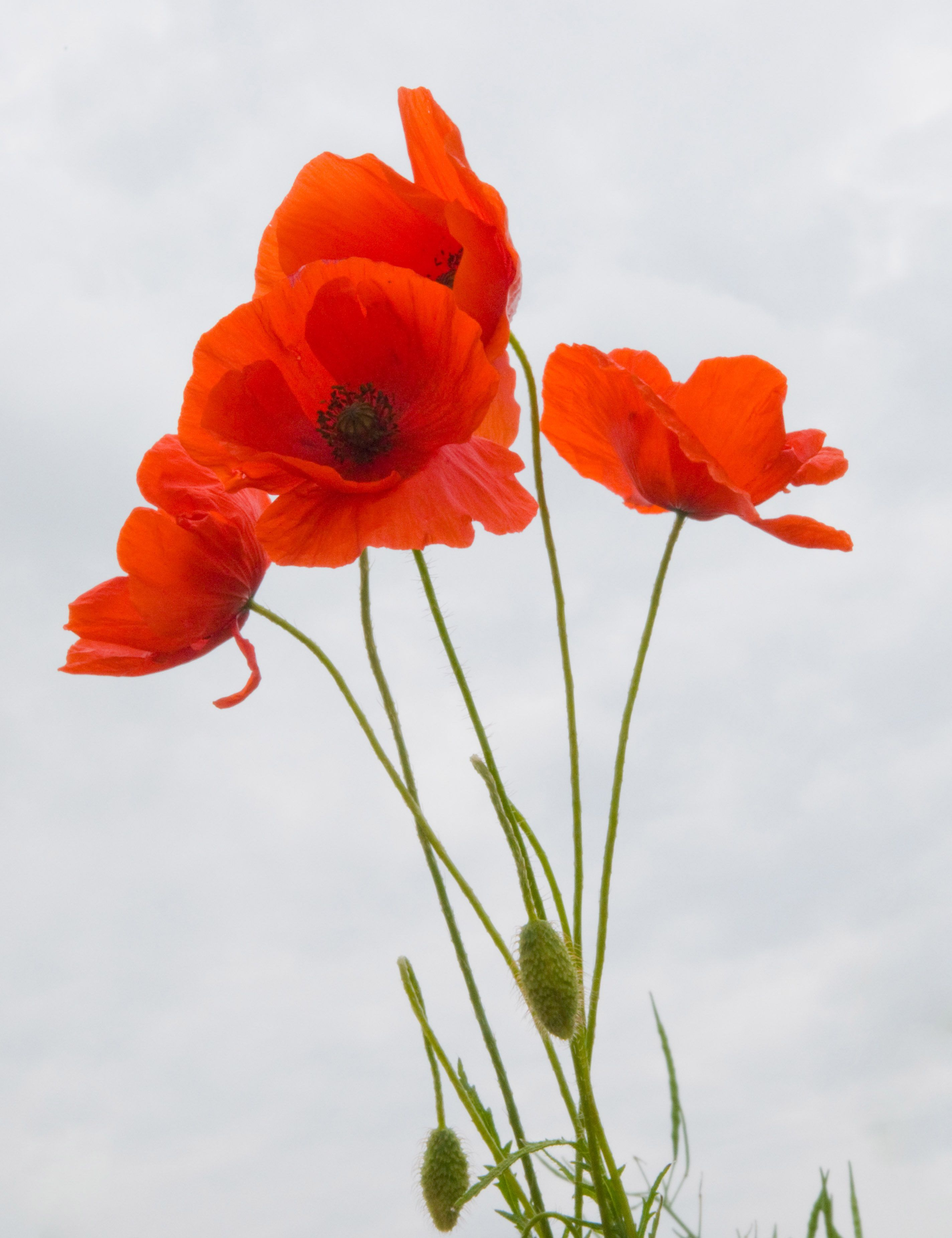 Poppies against the sky 1 photo by john ecker flower power when i was 5 i pulled all of the poppies out of the flower bed sorry dad s mightylinksfo