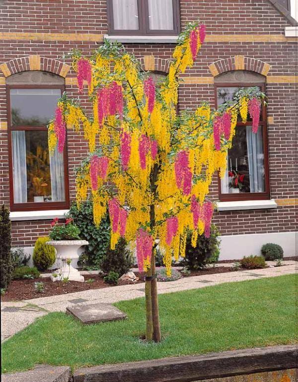 cytise bicolore plantes aux couleurs originales pinterest plantes rares id es de jardin. Black Bedroom Furniture Sets. Home Design Ideas