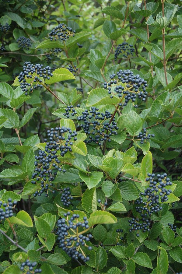 Small Purple Blue Berries In Cers