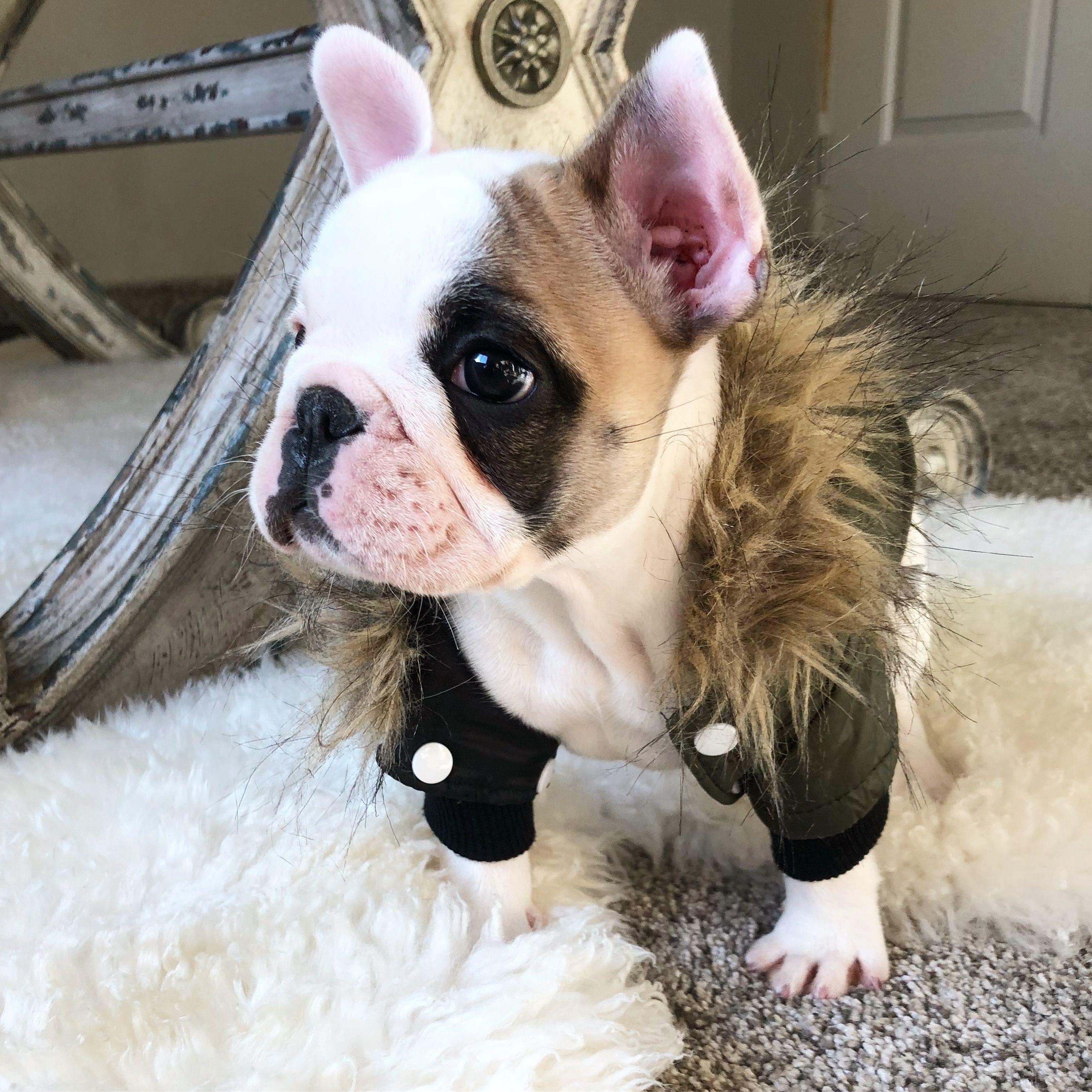 Fabulous Frenchie Living At Southern Utah Frenchies Bulldog French Bulldog Dogs