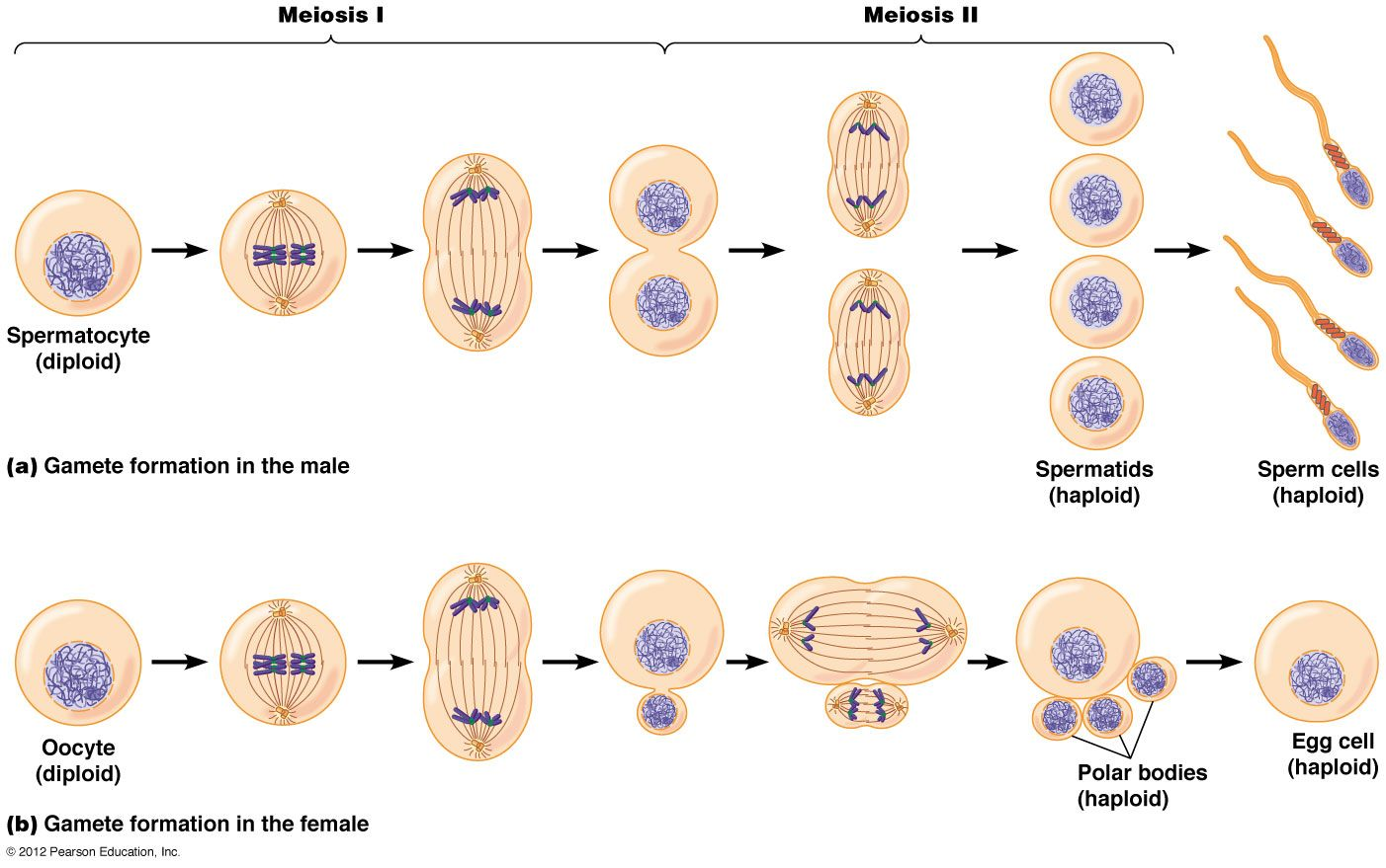 Some questions about the stages of meiosis (germ cell division to ...