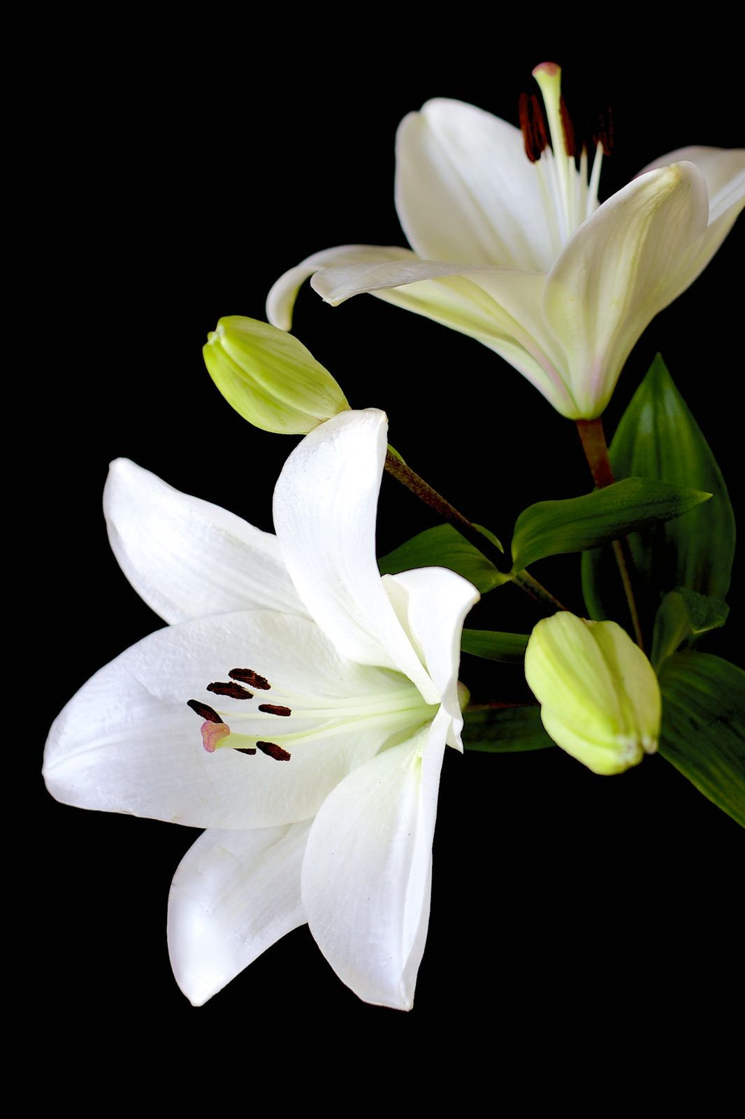Lily on black by henrietta oke flowers pinterest photos by