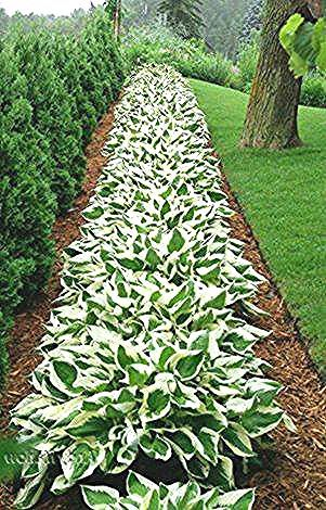 Patriot Hosta picture from google search *M* - #google #hosta #patriot #picture #search