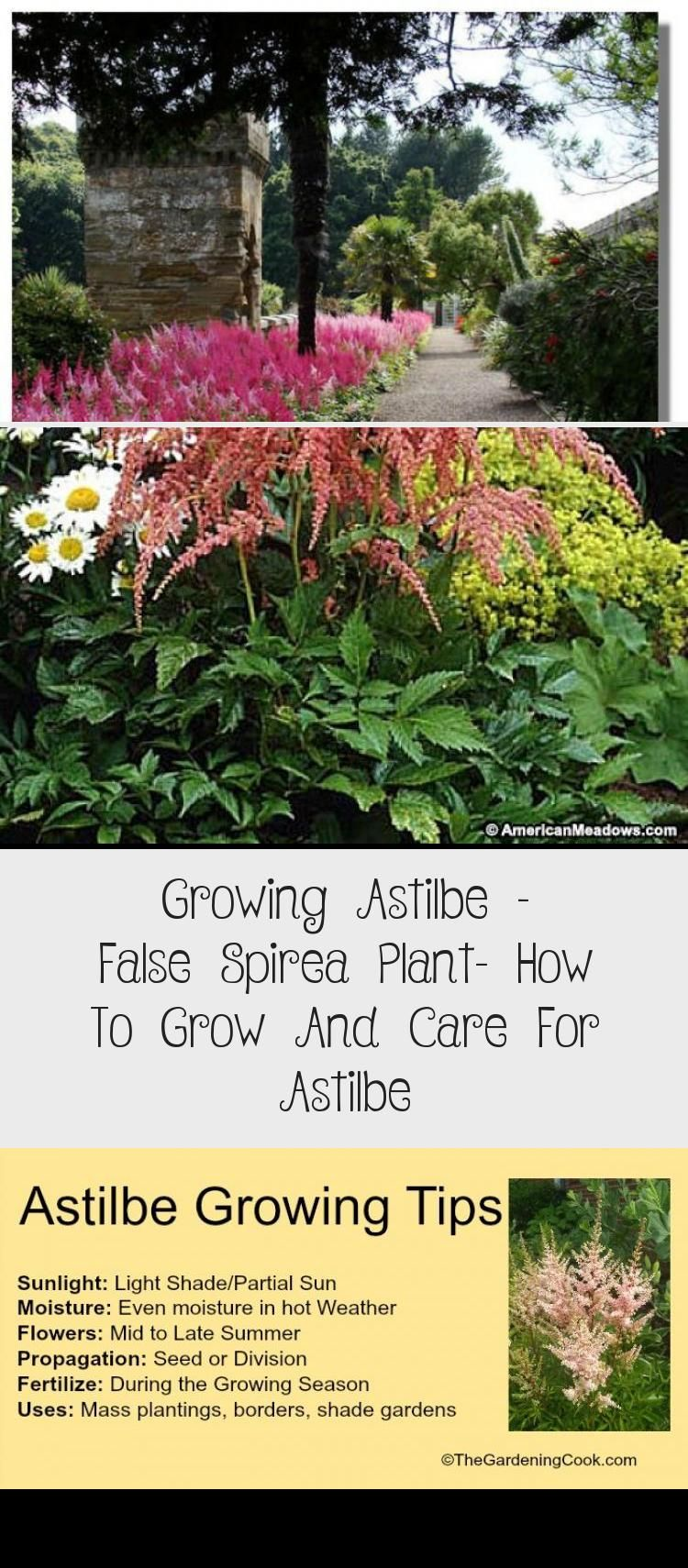 Growing Astilbe False Spirea Plant How To Grow And Care For Astilbe Shade Garden Spirea Plant Plants