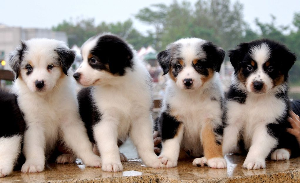 Australian Shepered Puppies Australian Shepherd Puppies Cute Animals Baby Dogs