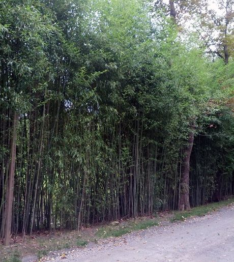 Bamboo Privacy Hedge Along Dirt Road Bamboo Pinterest