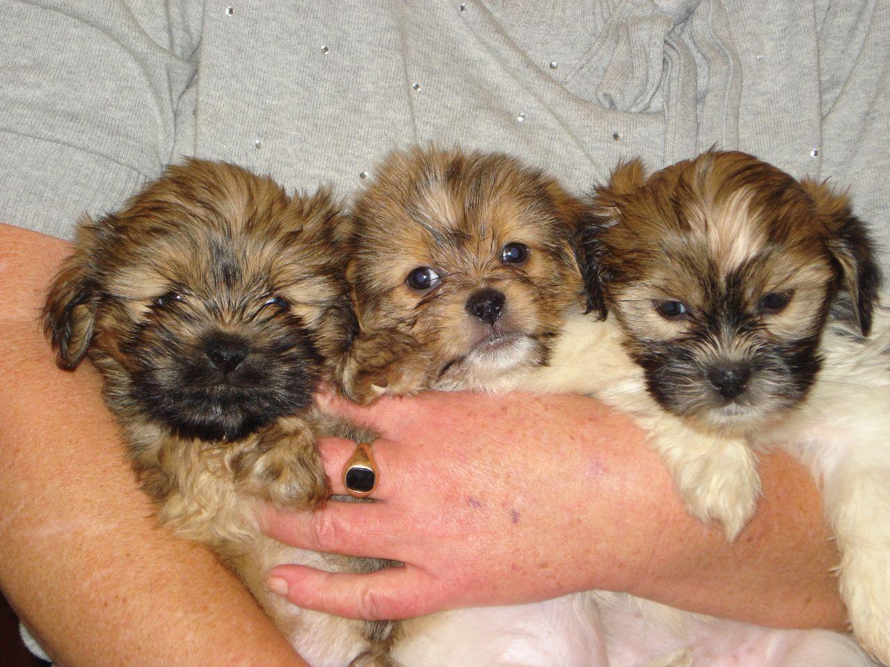 Pomeranian Shih Tzu Mix Google Zoeken Shih Tzu Puppy Shih Tzu Shih Tzu Grooming