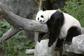 panda - Cerca con Google