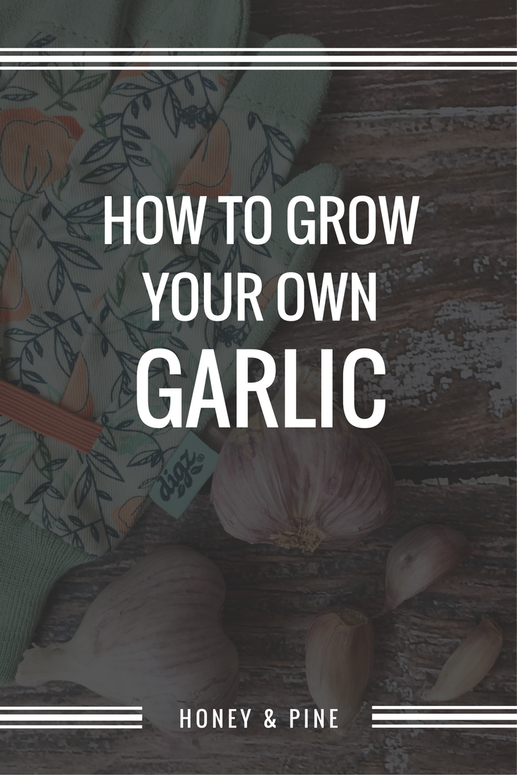 how to grow garlic and a digz gloves giveaway garlic plants