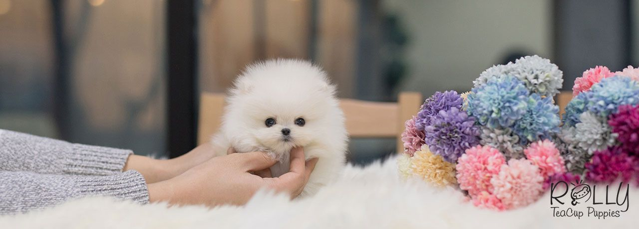 Rolly Teacup Puppies / Rolly Pups, Inc (With images