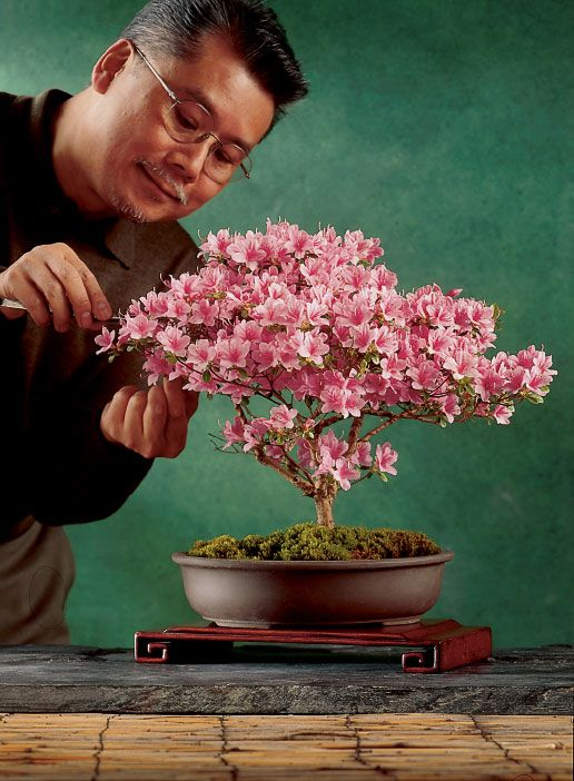 An Easy Azalea Bonsai Make Your Own Bonsai In No Time Bonsai Tree Care Bonsai Azalea Bonsai Art