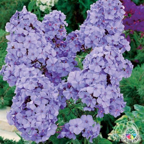Plant Profile For Phlox Paniculata Blue Boy Summer Phlox