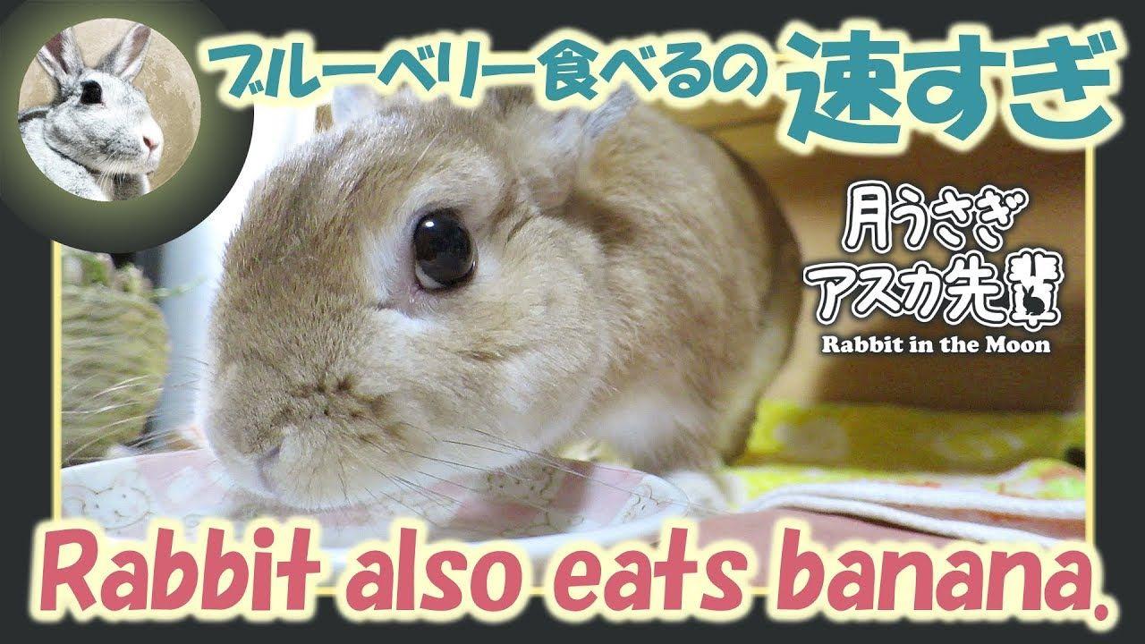 ブルーベリー食べるの速すぎ ウサギのだいだい 2019年8月28日 ウサギ ブルーベリー うさぎ