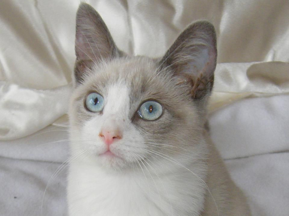 Destrier Snowstorm Blue point Snowshoe Cat Pretty cats