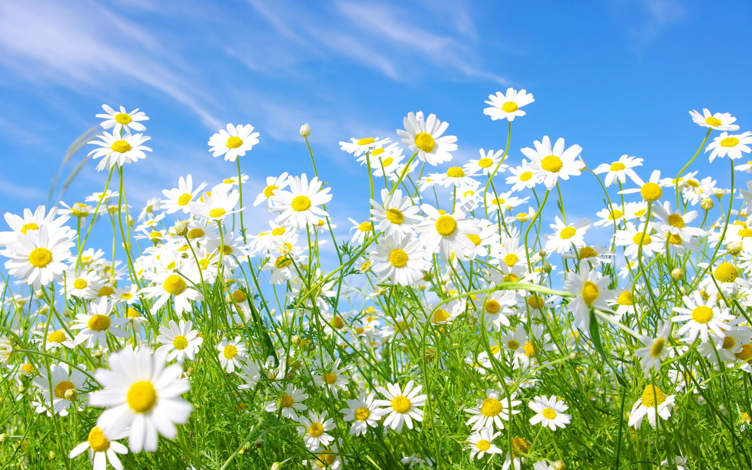 Field Of Daisies Full Size Image 2560 X 1600 1298 51 Kb Source Daisy Wallpaper Spring Flowers Wallpaper Daisy Field