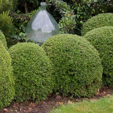 apr s la pyrale du buis quels arbustes planter. Black Bedroom Furniture Sets. Home Design Ideas