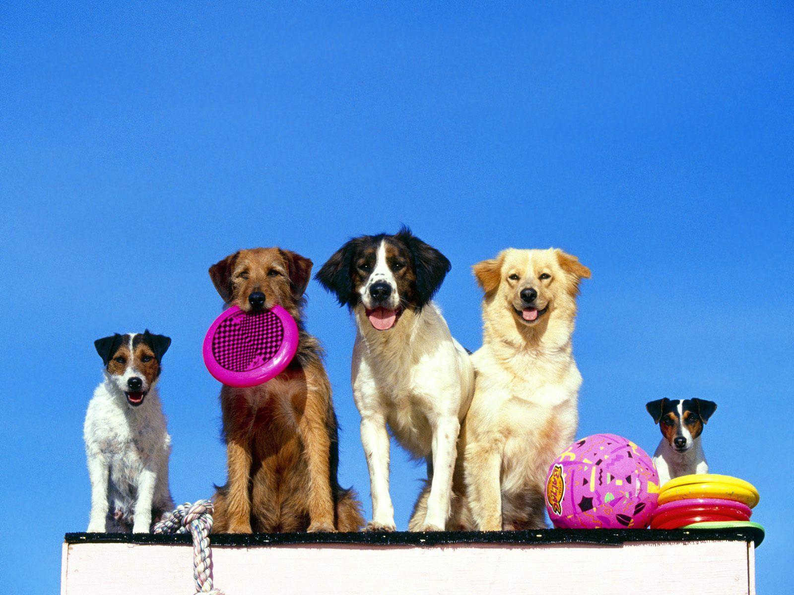 9a363c17ad0465768d291d7caddf0f21 it's summer time dogs, pets with frisbee cute pugs pinterest dog