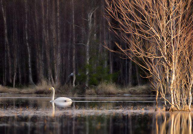 Laulujoutsen  - © Mattl Suopajarvl