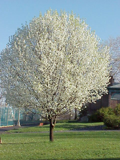 A great benefit of the bradford pear is that it is a rapid grower clevelandpeartreesinbloompicturestrees free my brain from mightylinksfo