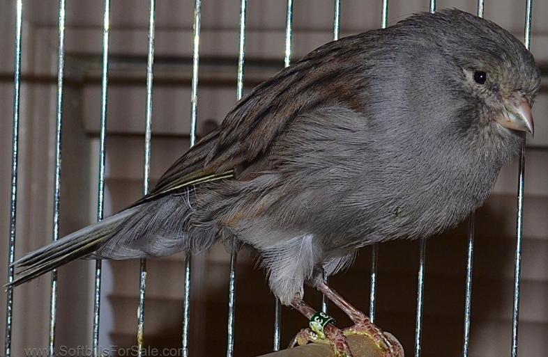 Download Kumpulan Suara Kenari Yorkshire Dan Kenari Lokal Burung Kenari Kenari Suara Kenari Burung Yorkshire Suara