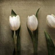 #fotografie #fineart #stilleben #tulpen #tulips #texture #textur #dekorative #nature #flowers #blumen #kunstvoll #kunstfotografie #photoshop