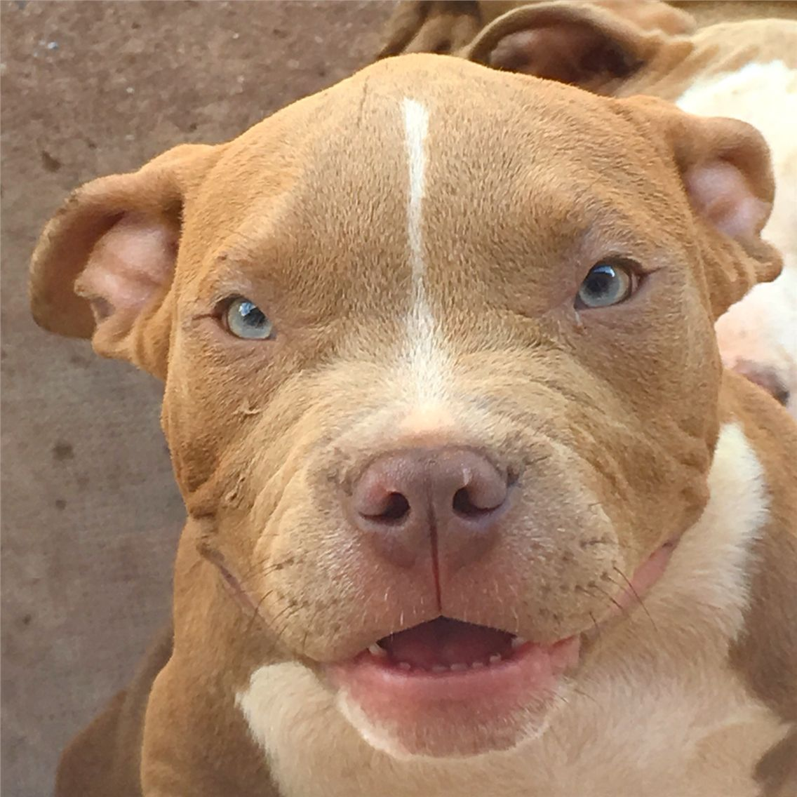 Super Chiot puppy puppies American bully Giant XL XXL Bully Pitbull a  RA72