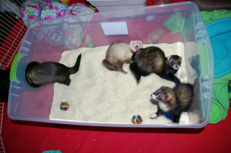 New And Improved Rice Dig Box Photo Heavy Ferret Toys Cute