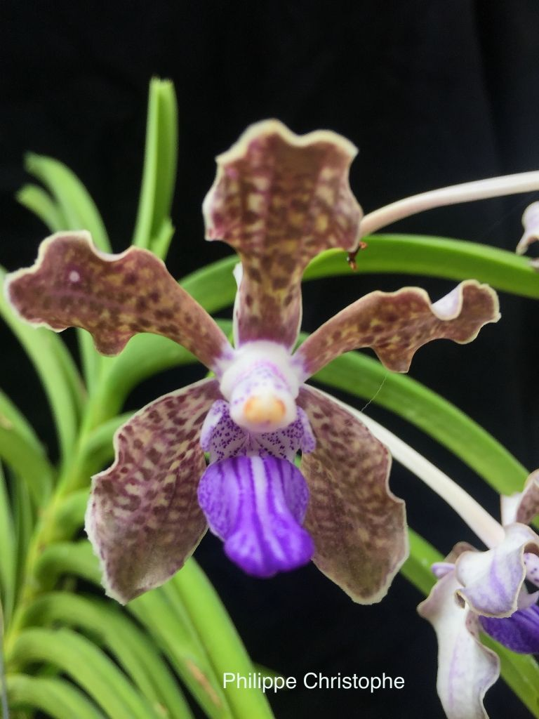 Vanda tessellata orchids pinterest orchid exotic flowers and