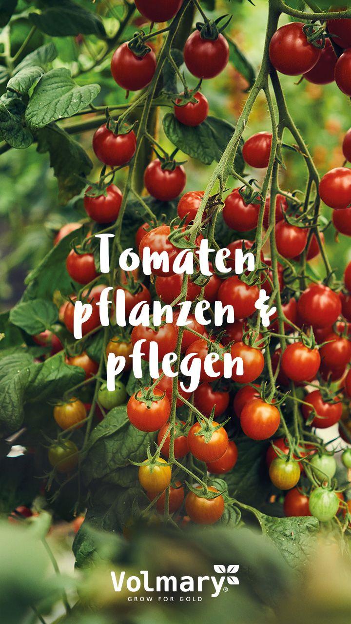 Tomaten Ernten Pflanzen Und Pflegen Tomaten Pflanzen Tomaten Ernten Tomatenpflanzen