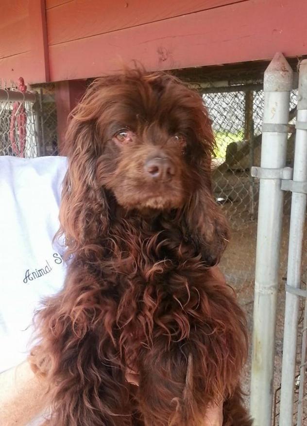 Adopt Basil On Cocker Spaniel Dog Spaniel Dog Dogs