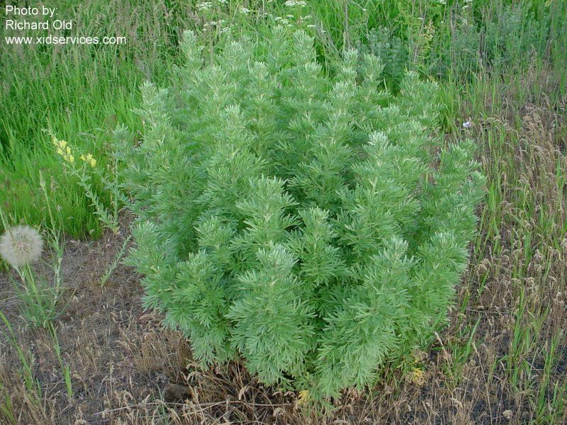 Absinthe wormwood  Artemisia absinthium  Used in the production of