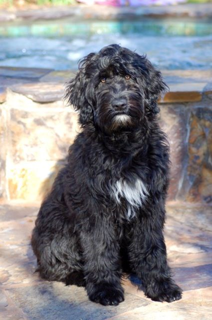 My Parents Porchaguese Water Dog Marcel He Has Wavy Hair Not The Typical Curly Hair Hypoallergenic And Very Smart Portuguese Water Dog Water Dog Dogs