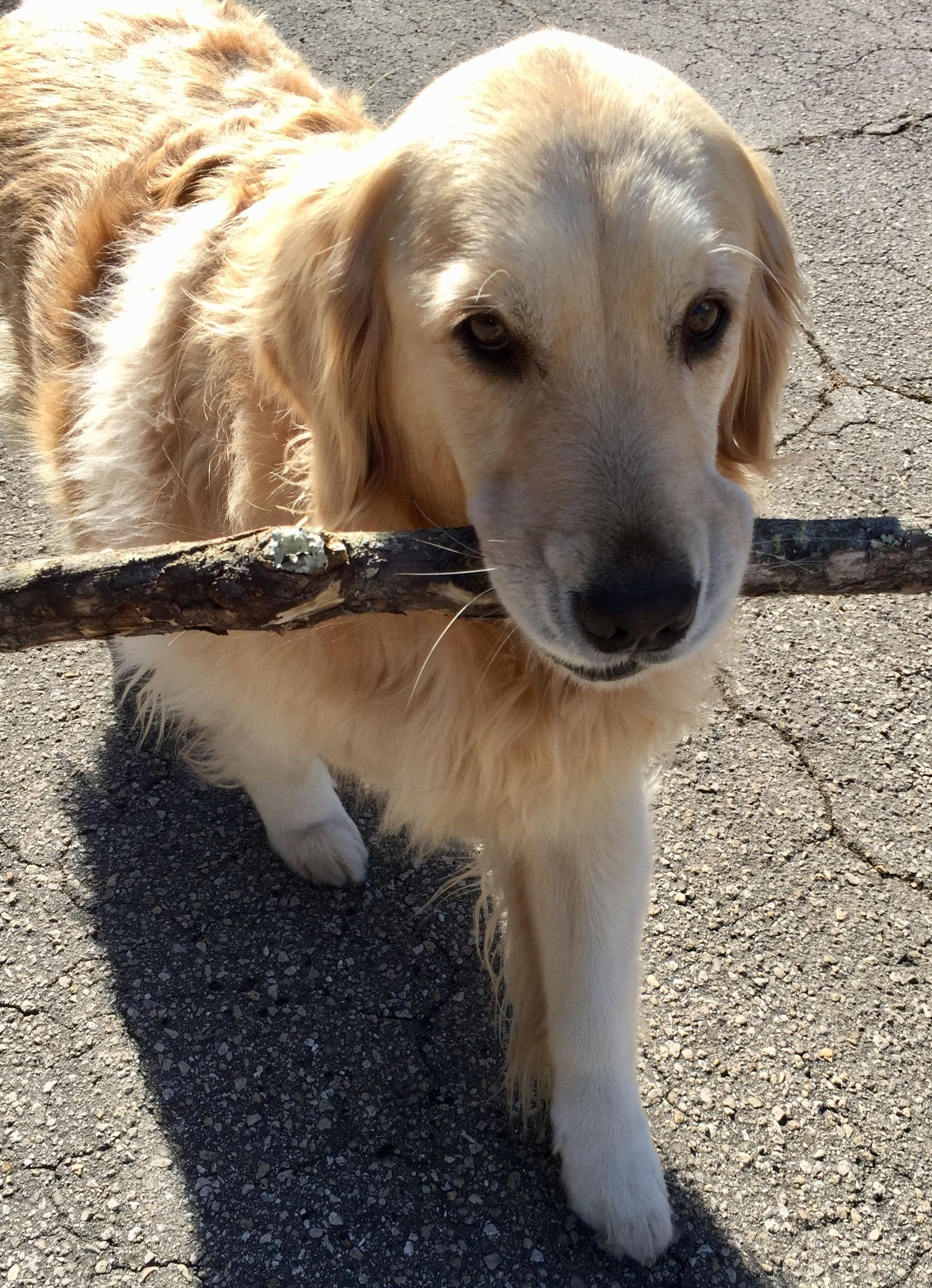 Pin By Janice Edwards On Golden Retrievers Dogs Cute Dogs
