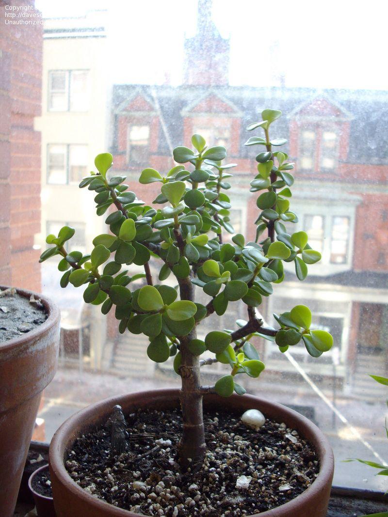 Elephant Bush Elephant Food Elephant Plant Miniature