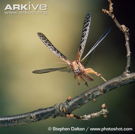 Desert locust videos, photos and facts - Schistocerca gregaria   ARKive