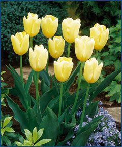 Sit With Me In My Garden: Tulips.....