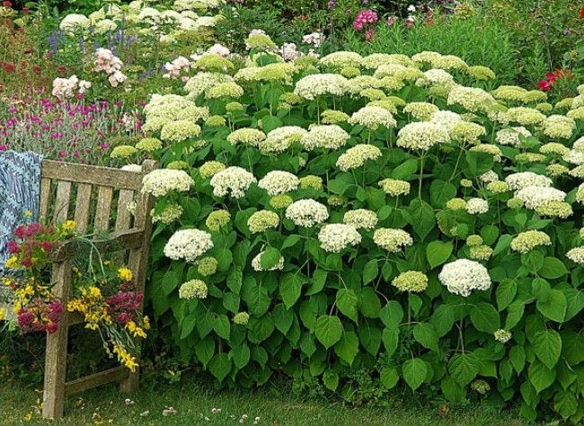 La plantation de l 39 hortensia 39 annabelle 39 hortensia annabelle and planters - Quand planter des hortensias ...