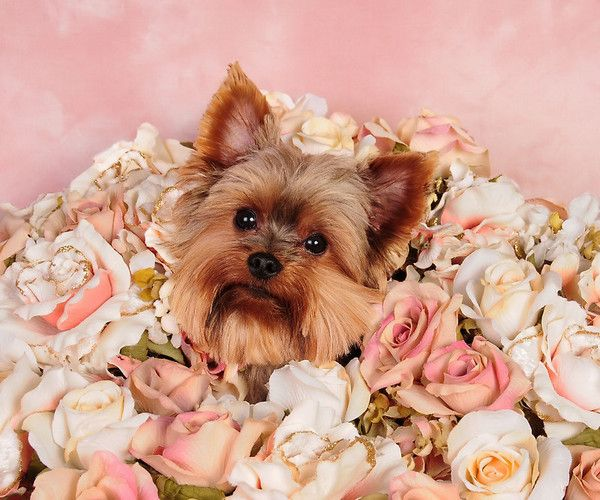 ANIMAUX ,CHIENS, DOGS … | Chien, Animaux, Chien yorkshire