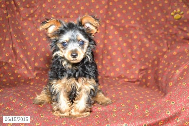 Yorkshire Terrier Puppy For Sale In Ohio Buckeyepuppies Yorkshire Terrier Puppies Puppies Yorkshire Terrier