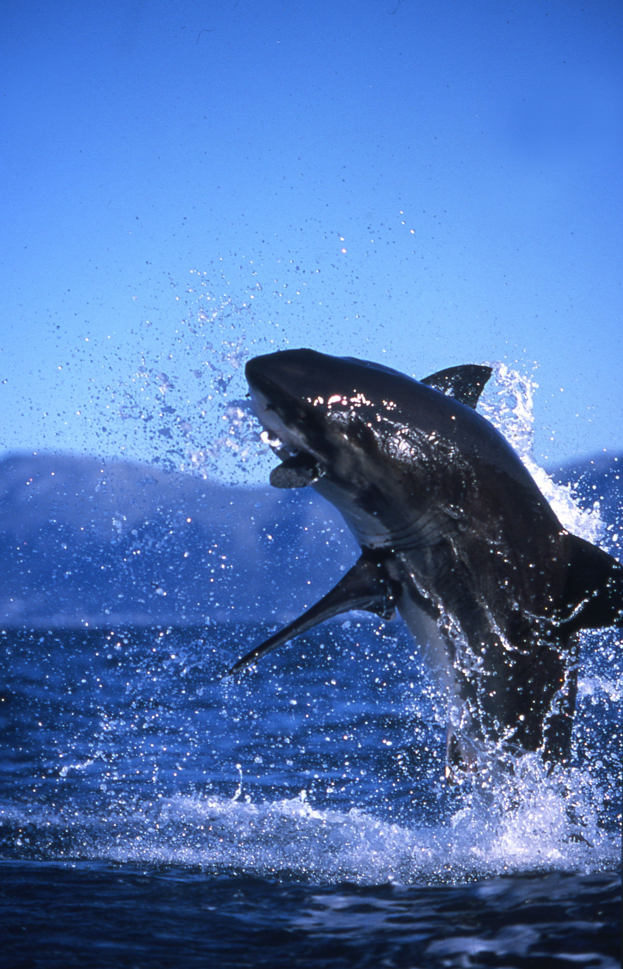 Great White Shark showing off his #breaching power on a #breachtour. http://www.sharkcagedive.com/