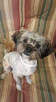 Teacup Shih Tzu Puppies For Sale In Nc Shih Tzu Shih Tzu Dog