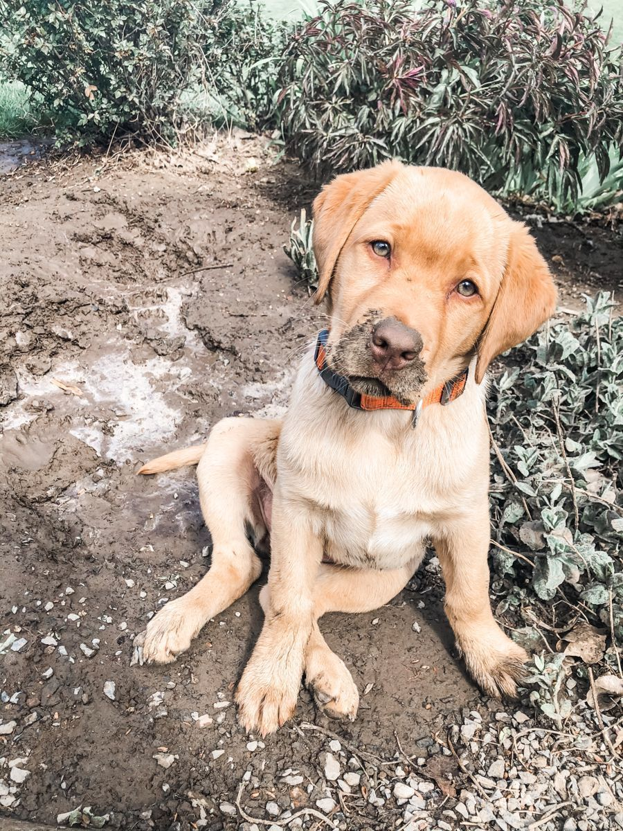 Our Sweet Honey Girl Yellowlab Huntingdogs Yellow Lab Puppies Yellow Lab Puppies Golden Retrie In 2020 Yellow Lab Puppies Animal Photography Dogs Black Lab Puppies