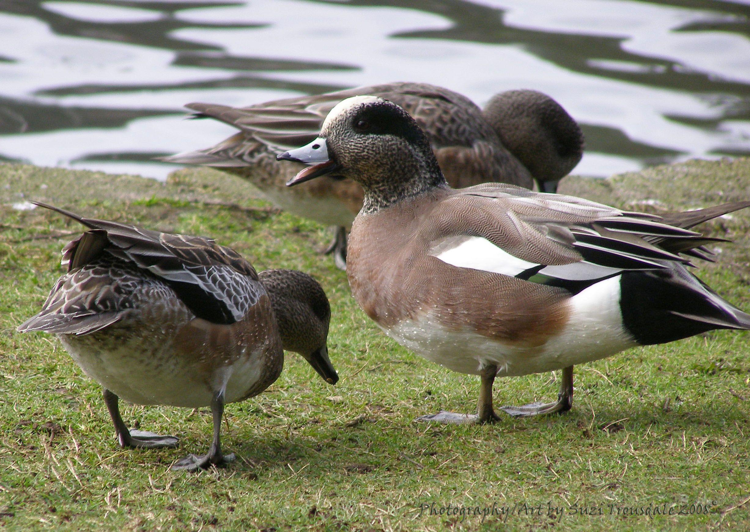 Wigeons