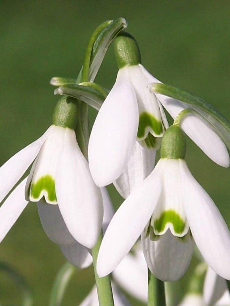 Galanthus Nivalis Common Snowdrop World Of Flowering Plants Bulbous Plants Snow Drops Flowers Plants