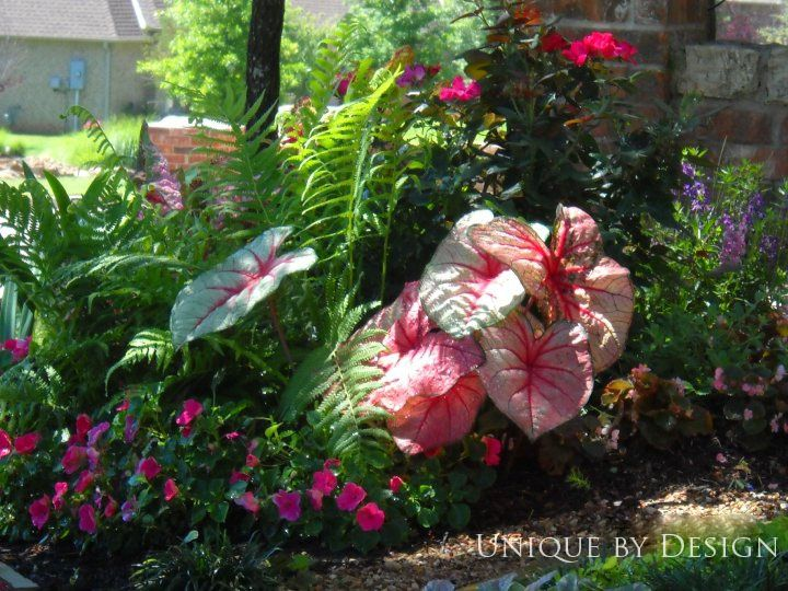 in shade combo of caladium