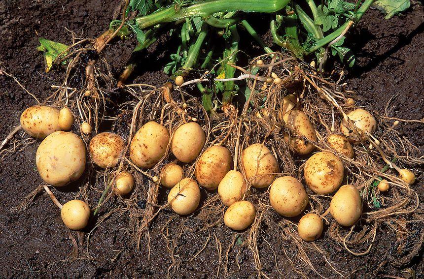 Potato-Harvest.jpg 860×567 pixels